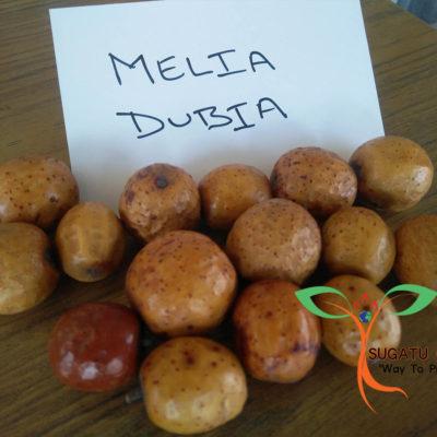 MELIA DUBIA